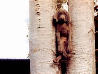 Funny-dog-stuck-in-tree-backgrounds-451x338